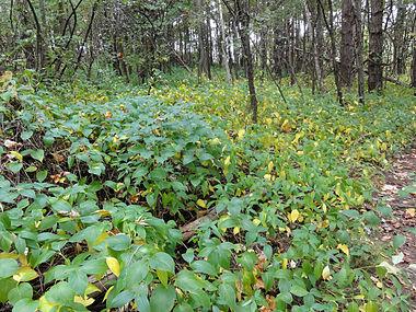 Vincetoxicum rossicum SCA-04867.jpg