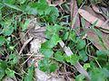 Viola banksii leaf2 - Flickr - Macleay Grass Man.jpg