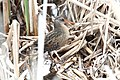 Virginia Rail (Rallus limicola) (5821965911).jpg