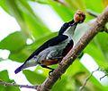 Visayan Flowerpecker (14390465650).jpg