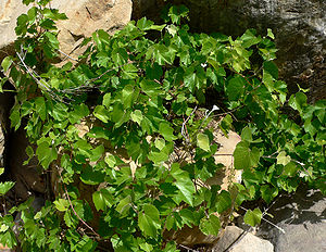 Vitis arizonica - Canyon grape in Icebox Canyon, Spring Mountains, southern Nevada