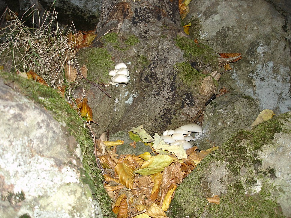 Vitosha mushrooms 7