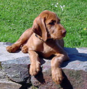 A Wirehaired Vizsla pup