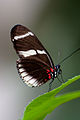 Vlinder in Blijdorp (3938459910).jpg