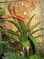 Vriesa sp epiphyte2.jpg