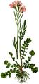 WWB-0030-010-Cardamine pratensis-crop.png