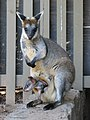 Wallabia bicolor with joey in pouch 01.JPG