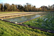 Watercress Watercress Cultivation | RM.