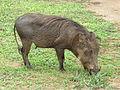 Warthog in Murchison Falls National Park.JPG