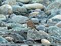 Water Pipit (Anthus spinoletta) (15707453168).jpg