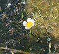 Water crowfoot (Ranunculus subgenus Batrachium) sp. - Flickr - S. Rae.jpg