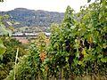 Weinberge bei Remshalden - panoramio.jpg