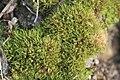 Weissia longifolia (a, 153208-482342) 1489.JPG