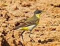 Western yellow wagtail (thunbergi ).jpg