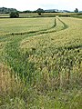 Wheat field towards Barrow - geograph.org.uk - 882297.jpg