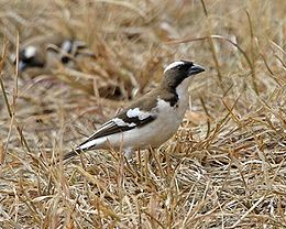 White-browed Sparrow-Weaver (Plocepasser mahali) 5.jpg