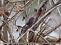 White-browed Tit Warbler (Leptopoecile sophiae) (15893545442).jpg