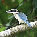 White-collared Kingfisher (31925332616).jpg