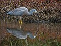 White-faced Heron (21434181985).jpg