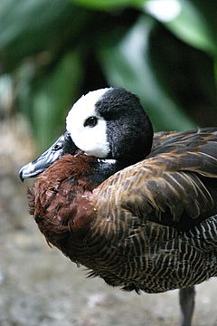 White-faced Whistling Duck close-up.jpg