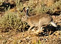 White-tailed jackrabbit on Seedskadee NWR (14880304492).jpg