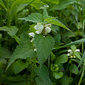 White Deadnettle (Lamium album) (4654697652).jpg