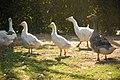 White Ducks And Black Duck (189290649).jpeg
