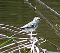 White Wagtail (Motacilla alba alba) - Flickr - gailhampshire (2).jpg