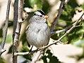 White crowned sparrow on Seedskadee National Wildlife Refuge (37742355532).jpg