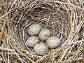 Whitethroat Nest 07-05-10 (5 Eggs) (4590342160).jpg