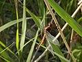 Widow Skimmer (Libellula luctuosa) - Guelph, Ontario 2014-07-13 (01).jpg