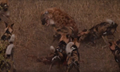 Wild Dogs Attack Spotted Hyenas to Defend Their Kill HD 7.png
