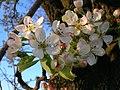 Wild Pear Flowers detail.JPG