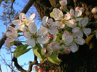 Hruška planá - kvety