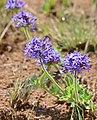 Wild Verbena (Pentanisia prunelloides) (31690465894).jpg