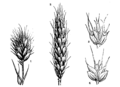 Wild and cultivated grain (OAW).png