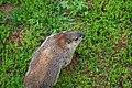 Wildlife groundhog 1 - West Virginia - ForestWander.jpg