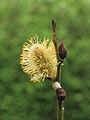 Wilgenkatjes (Salix) 03.JPG