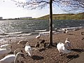 Windy day at the Lakeside - geograph.org.uk - 705129.jpg