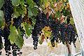 Wine grapes05.jpg