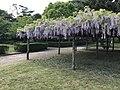 Wisteria floribunda in Hagi Castle 1.jpg