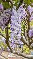 Wisteria sinensis, Christchurch Botanic Gardens, Canterbury, New Zealand 23.jpg