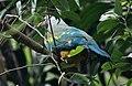 Wompoo Fruit Dove, Australia (Ptilinopus magnificus) (31217877152).jpg