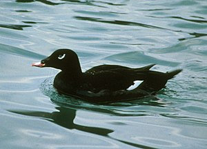White-winged scoter - White patches are visible but not conspicuous when wings are folded