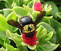 Xylocopa modesta.jpg