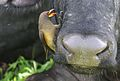 Yellow-billed oxpecker, Buphagus africanus, on Cape buffalo in Chobe National Park, Botswana. (32250271261).jpg