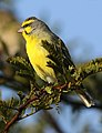 Yellow-fronted canary, Crithagra mozambicus, at Pilanesberg National Park, Northwest Province, South Africa (28381581952).jpg