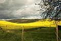 Yellow Fields of England, rapeseed.jpg