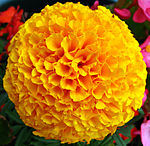 Yellow French Marigold Flower.jpg