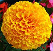 Yellow French Marigold Flower.jpg